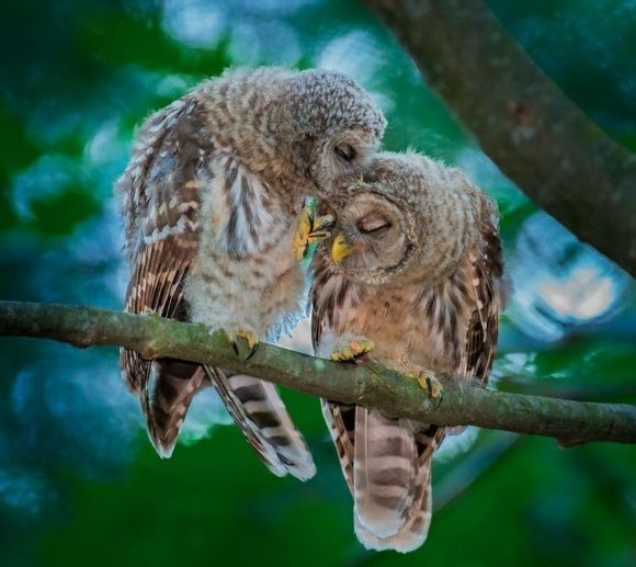 owlsBar Tenders, Owls Pairings, Bar Owls, Owls Kisses, Sweets Owls, Owls Obsession, Beautiful Birds, Amazing Animal, Feathers