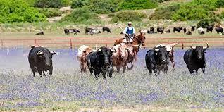 #toros en #Huelva #Spain #bull #countryside