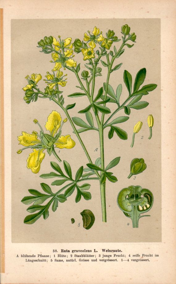 1901 Herb of Grace Rue Botanical Print Ruta graveolens