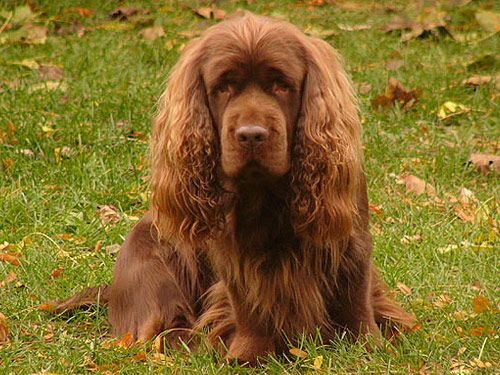 The Sussex Spaniel dog's One of the most noticeable features is the golden reddish-brown coat, which is a unique breed.