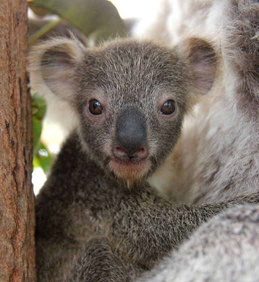 Koala joey makes first appearance at Taronga Zoo June 11, 2015 - This little female koala joey is the first one born this season at Taronga Zoo