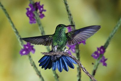 Steely-Vented Hummingbird in Costa Rica, by Michael & Patricia Fogden via Animal Planet