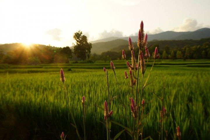 Rice Paddys in the afternoon sun