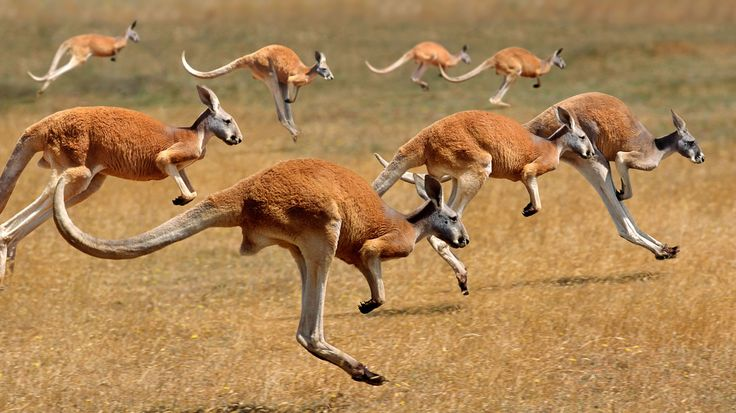 Red Kangaroos (macropus rufus) hopping in the Australian outback (© Gerard Lacz/Age Fotostock)