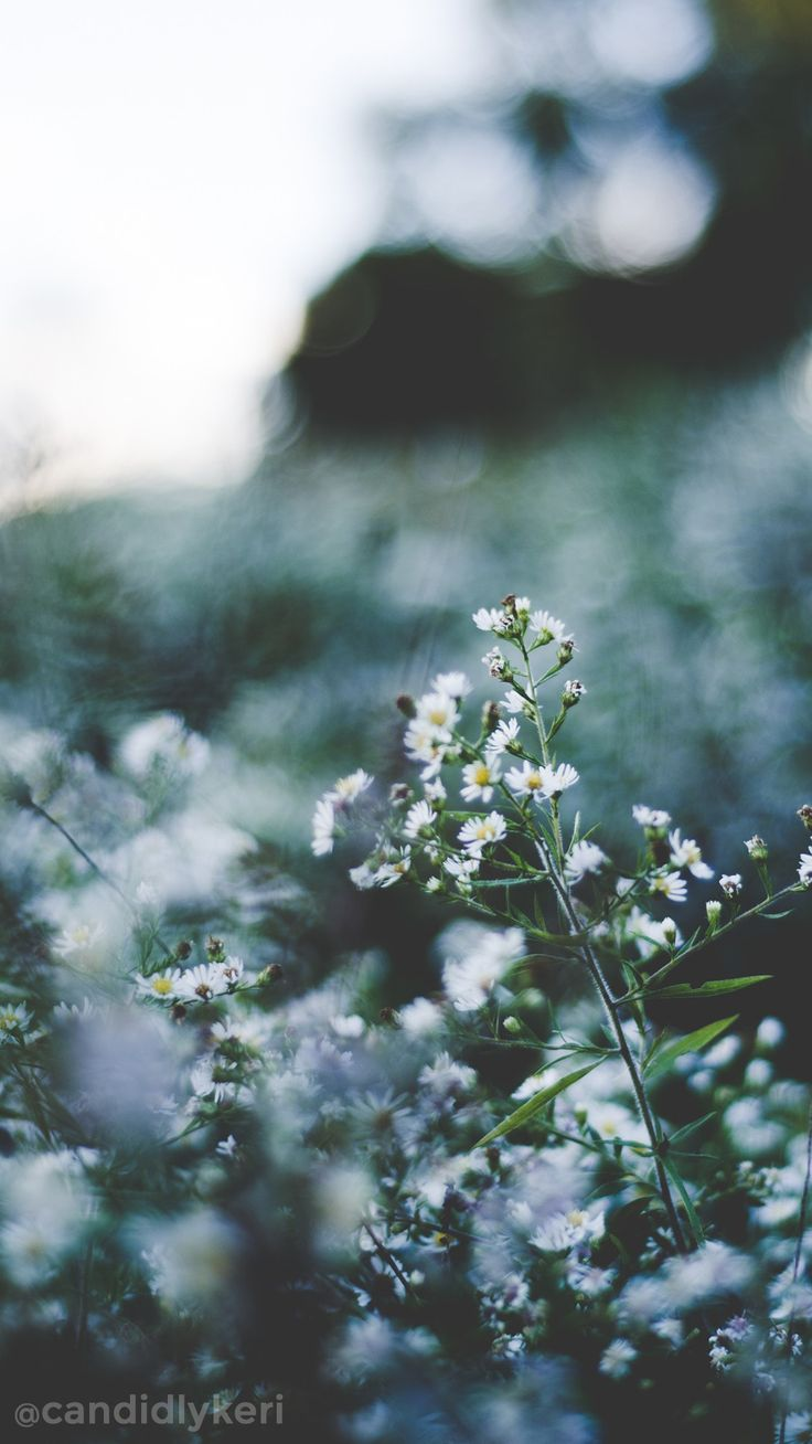 Baby S Breath Flower Wallpaper You Can Download For Free