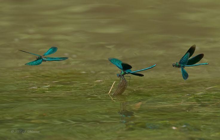 Afgelopen zaterdag een flinke wandeling gemaakt in het Geuldal van rond de 25km.<br /> <br /> Mijn uitdaging voor die dag was het vastleggen van bos-/weidebeekjuffers in vlucht. Hoge moeilijkheidsgraad.<br /> <br /> De mannetjes waren zeer fel. Je ziet hier een vleugelgedeelte boven het water komen van een wijfje. Alhoewel ik weet dat ze onder water kunnen gaan voor de eiafleg, was deze positie na ongeveer een half uurtje nog hetzelfde. Vandaar...