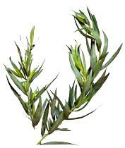 tárkony  A tárkony (Artemisia dracunculus) elsősorban Erdélyben gyakran használt fűszernövény. Több változata is van, az ánizsos mellékízű, csípős francia tárkony a legfinomabb. Ez nem hoz csíraképes magot, de tősarjakról jól szaporítható. Félárnyékos, nyirkos helyen fejlődik a legszebben. Aromáját a szárítás során elveszti, ezért ecetben érdemes tartósítani. Nyár közepén érdemes a virágzás előtt visszavágni, amikor a legszebb a lombja, és a leveles hajtásokat az ecetbe tenni, ez később…