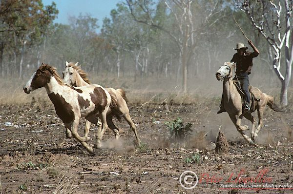 An Australian stockman, or ringer, rounds up horses on a property in the Northern Territories, Australia.
