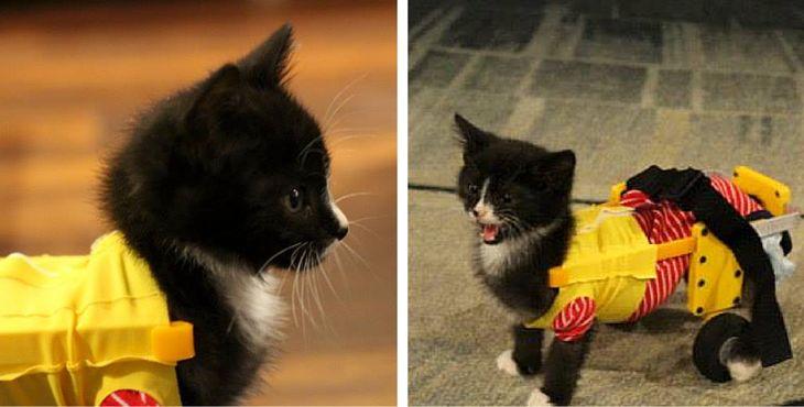 Tiny Tim, le chaton sauvé de l'euthanasie grâce à un fauteuil roulant