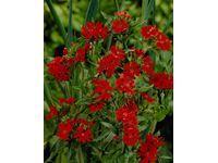 """Knotovka """"Molten Lava"""" červená průměr květináče cca 13 cm"""