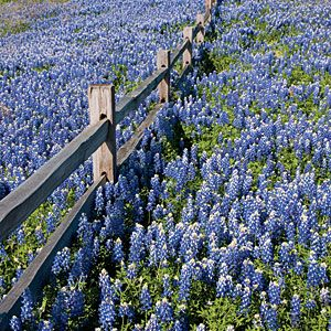 Tour the Texas Hill Country | Cruise the annual Wine and Wildflower Trail as bluebonnets, Indian paintbrushes, yellow daisies, purple verbena, and more decorate the countryside and 33 local wineries. | SouthernLiving.com