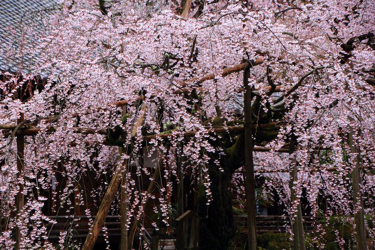 山科の桜の名所の毘沙門堂の般若桜(はんにゃざくら)