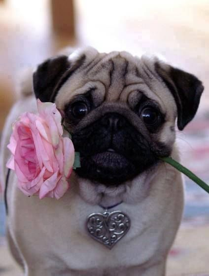 Pug love. Reminds me of Jack and Popoy. This is for the love of wrinkly brachycephalic faces.