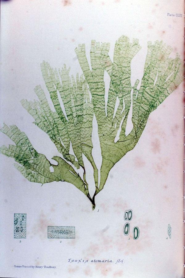 From British Seaweeds, 1859.