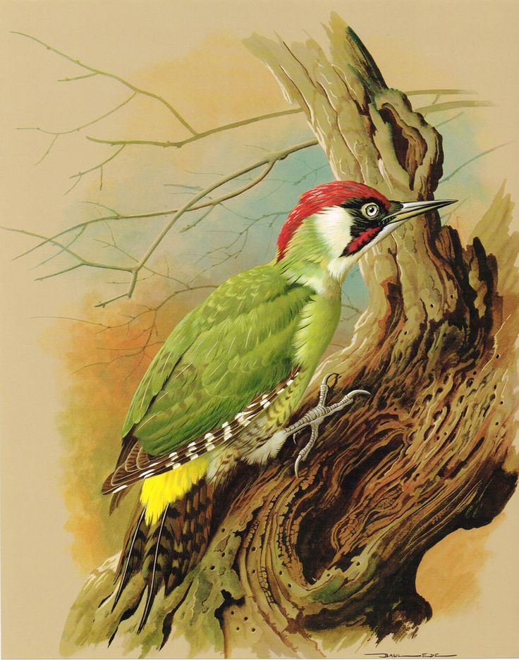 The Green Woodpecker - Vintage 1965 Bird Print by Basil Ede