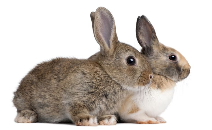 Raising Rabbits for Meat. Learn how to start raising meat rabbits for food and profit. Find meat rabbit info, resources and rabbit supplies for sale.