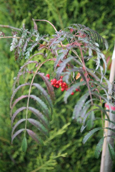 Small garden trees - rowan Sorbus 'Chinese Lace' H6m (we have this)