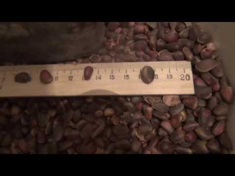 Кедровый орех сравнение размеров кедровых орехов