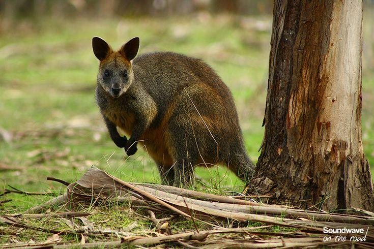 Wallaby - Phillip Island http://soundwaveontheroad.com/cap-sur-phillip-island-son-spot-de-surf-et-ses-koalas/
