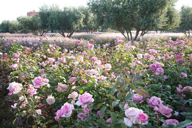 A Moroccan olive grove by designer Luciano Giubbilei underplanted with pink roses & fountain grasses.