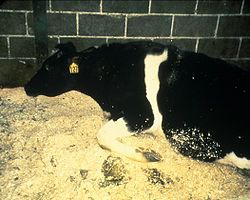 "April 24, 2012 – The USDA announces that bovine spongiform encephalopathy (""mad cow disease"") was found in a dairy cow in California.    Image of a cow with BSE. A feature of such disease is the inability of the infected animal to stand."