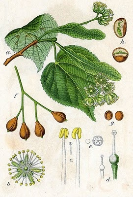 "Tilia or Linden flowers should be used in old magical recipes which call for ""lime flowers."" In Europe, Linden trees are considered to be protective, a tree of immortality. Tilia flowers are used in love mixtures. Stuff a pillow with equal parts of tilia and lavender to hasten sleep. Linden blossom oil possesses the scent of hope and is used in grief blends."