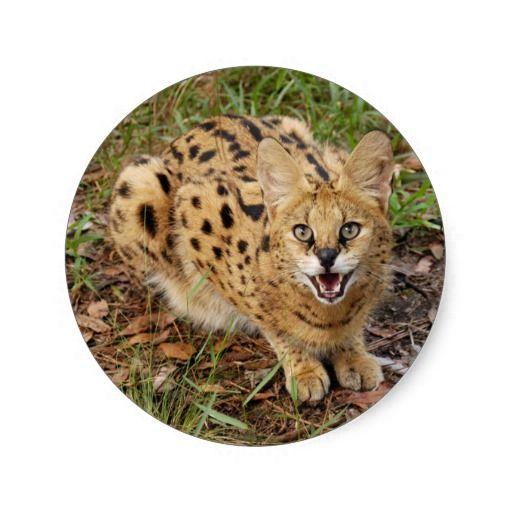 serval 044
