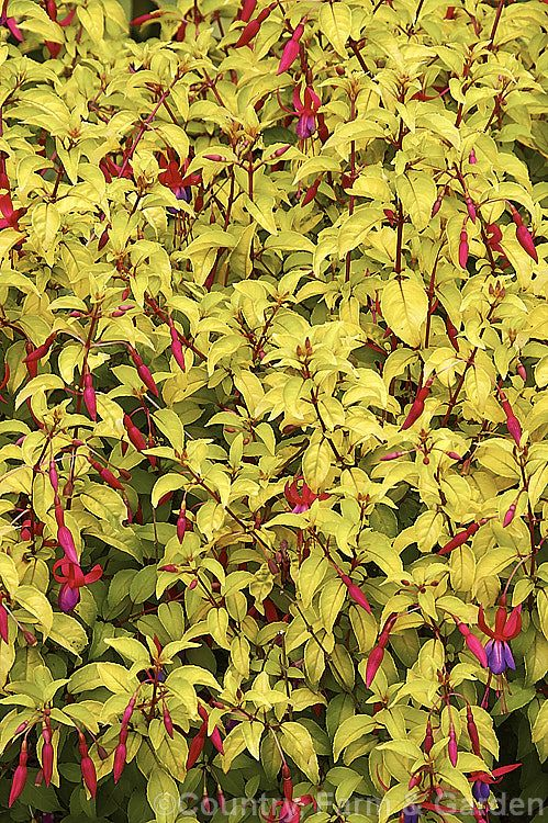 Fuchsia 'Genii', originally named 'Jeane', this is a dense bush with bright yellow green foliage and masses of small single flowers. It has an upright bushy habit. Introduced in 1951 by Reiter of the United States.