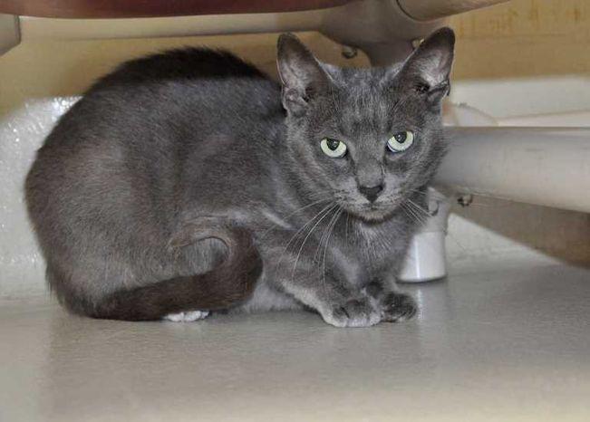 Adopt Bluebell On Russian Blue Cat Russian Blue Cat Adoption