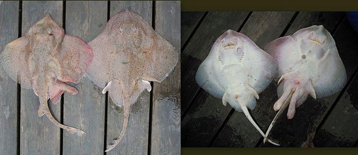 Kloskate (Amblyraja radiata). Liten skate i norske farvann, 40–60 cm. Halen er kortere enn kroppen og den har ca 15 store torner som går fra ryggen og utover halen. Kloskate skilles lett fra piggskate, som rundt 30–50 torner.