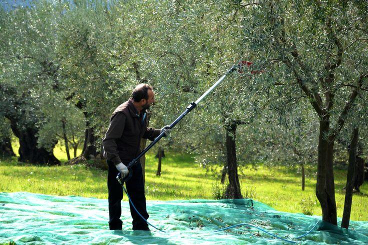 L' azienda l' albero del riccio, specializzata nella produzione di Olio Extravergine di Oliva.  Impegnata nell' agricoltura rispettando l' ambiente, la natura, coltiva e preserva usi,costumi e tradizioni contadine,  con un occhio all' innovazione e alla cultura, l' albero del riccio produce un eccellente olio, rinomato e riconosciuto , premiato con due olive dalla guida di olio extravergine di oliva di Slow Food.