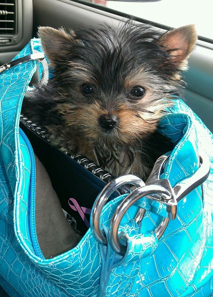 Teacup Yorkie... or in this case, Purse-sized Yorkie. LOL