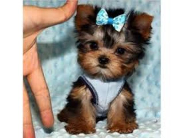 Teacup Yorkie Puppies Ready For Re Homing 13 Weeks In 2020 With Images Yorkie Puppy