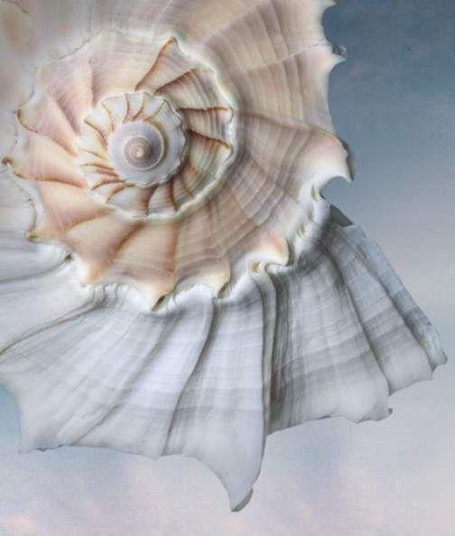 Beautiful Lightning Whelk