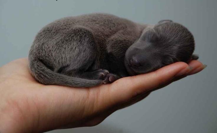 OMG  Little greyhound puppy