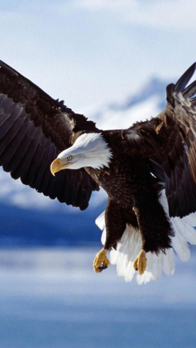 Bald, Eagle, in, Flight, they would catch thrown herring in mid-air