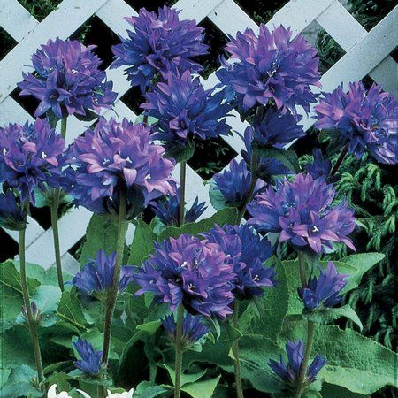 campanula, great shade perennial...adds nice color to your summer garden.