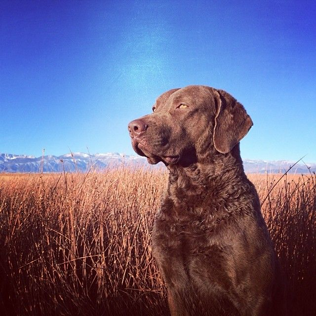 The most beautiful, loving, protective best friend. LOVE my Chessie! -Chesapeake Bay Retriever