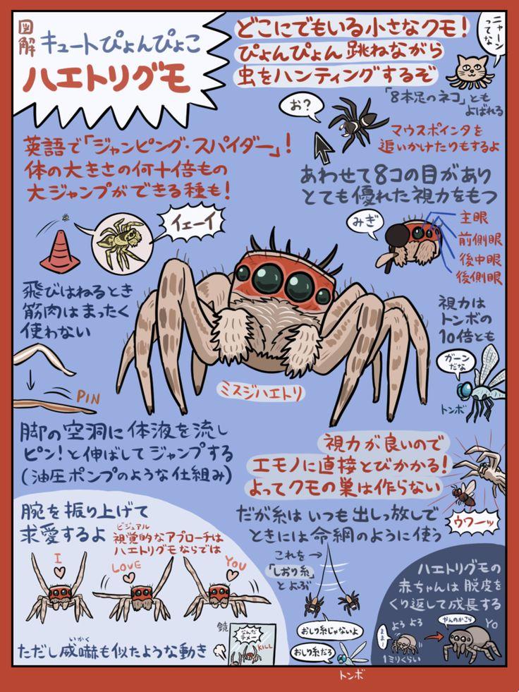 ジャンピング隣人「ハエトリグモ」の図解です。つぶらな瞳が8個&スグレモノの脚が8本で可愛さ8×8=64倍のクモさんですが、知る人ぞ知るその魅力を改めて解説してみました。参考文献は『ハエトリグモハンドブック』『世にも美しい瞳 ハエトリグモ』など。それにしても虫図解が3連続になってしまった…。いいけどね。
