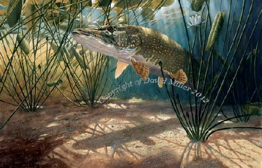 Pike in White Water Lilies open edition print by David Miller A3: £42.00 A2:£54.00