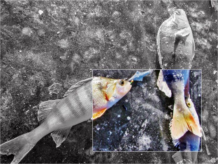 Зимняя рыбалка Первый лед Видео. Рыбалка по первому льду на мормышку, балансир, на зимнюю жерлицу. Ловля карася со льда, щуки, окуня. Советы и секреты.