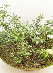 Bosque Variado, medidas aproximadas 40 cm de alto X 70 cm de Ancho, este espectacular bosque cuenta con Laurel Gourmet, Piracanta, Boxus y zelcovas, un bello e innovador obsequio, Magenta flores, una floristería al alcance de sus manos. http://www.magentaflores.com/productos/bonsai/details/17/19/bonsais-en-bogot%C3%A1-tienda-de-regalos-online%7C-venta-de-bonsai/bonsai-bosque-nana.html