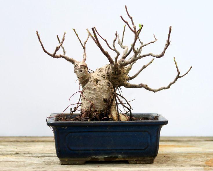 Shohin Ficus #Bonsai