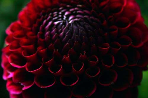 dahlia, Canon 300D It's dahlia season again at Golden Gate Park. If you are anywhere near San Francisco, you must see them! Calling them flowers seems like an inadequate description. They are more ...