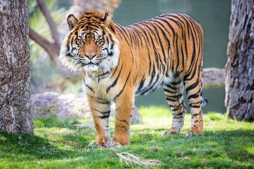 Sumatran predator look tiger