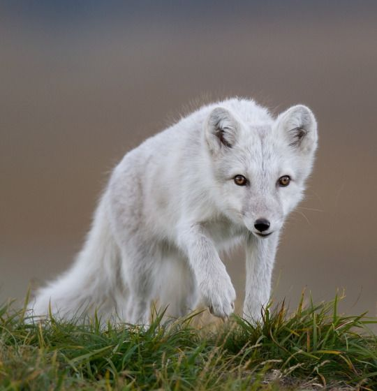 Arctic Fox by © Manfred Kuster
