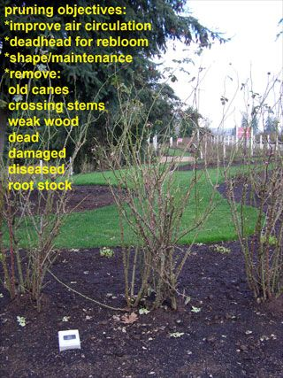 Pruning Objectives:Improve Air Circulation, Deadhead for Rebloom, Shape/Maintenance, Remove Old Canes, Crossing Stems, Weak Wood and Dead, Damaged or Diseased Root Stock