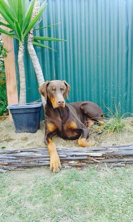 My big softie Oakley love him to bits   People say dobermans are vicious but there the nicest dogs ever
