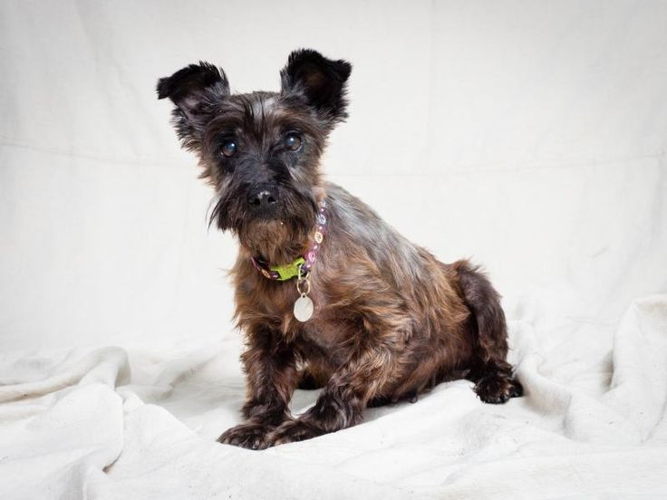 Pepper is an adoptable Miniature Schnauzer searching for a forever family near Tulsa, OK. Use Petfinder to find adoptable pets in your area.