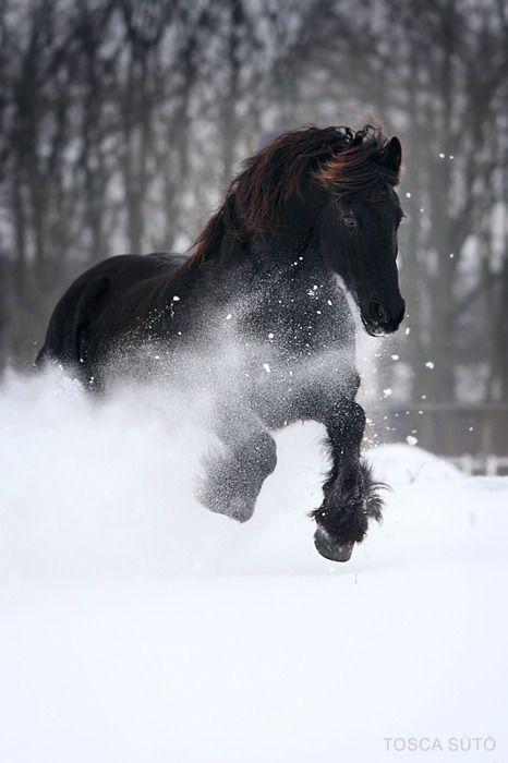 Blackie in the Snow: Black Stallion, Beautiful Hors, Winter Wonderland, Blackhor, Black Horses, Life Photography, Black Beautiful, Wild Hors